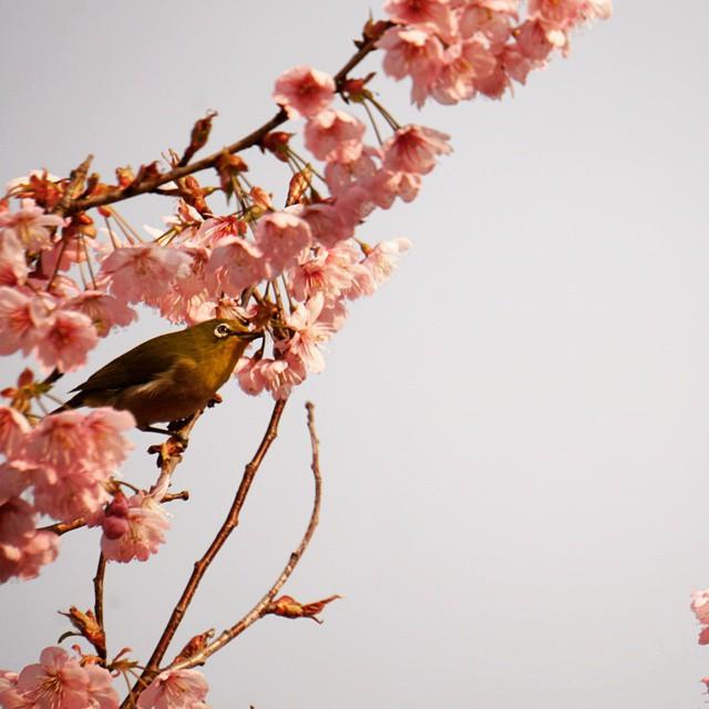京都は桜がキレイです*